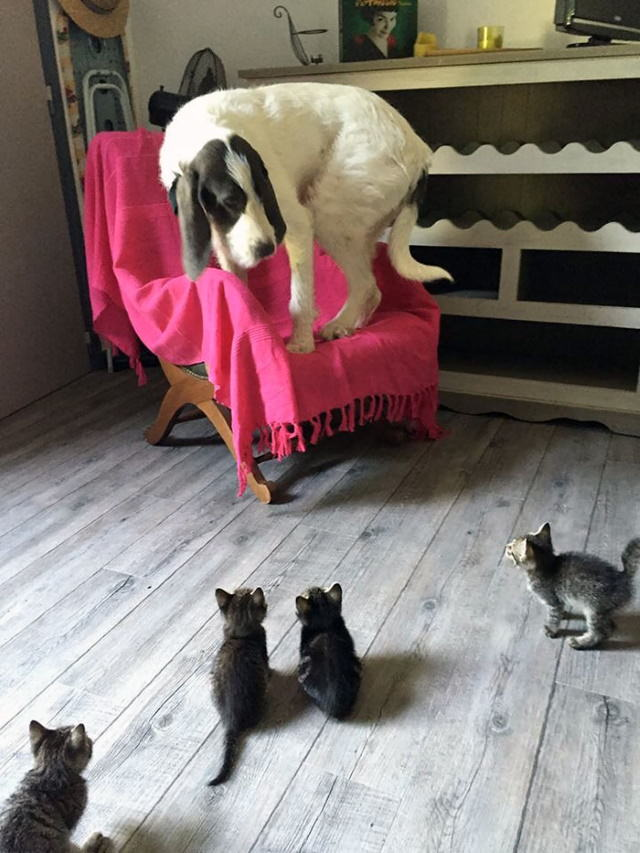 Dogs Letting Cats Boss Them Around surrounded