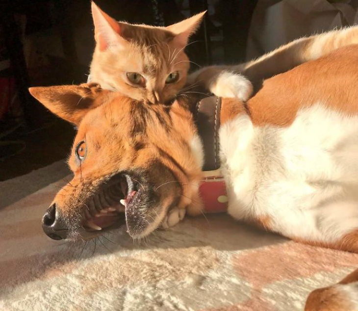 Dogs Letting Cats Boss Them Around don't want to mess with this cat