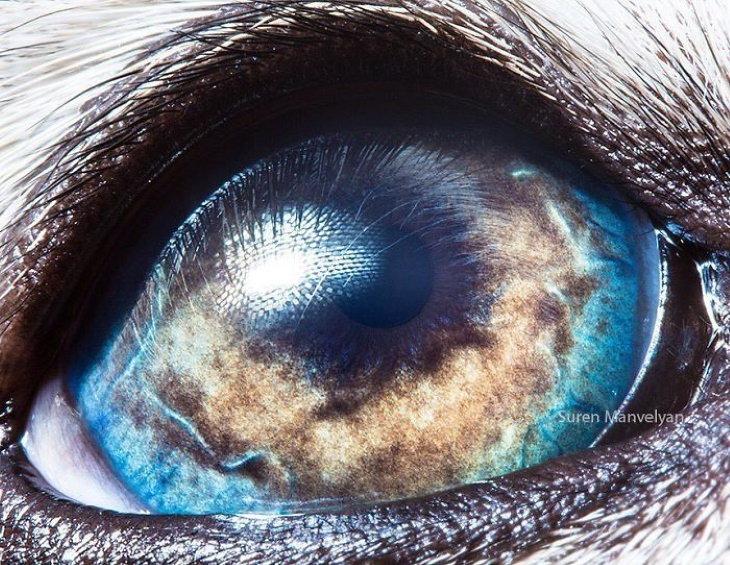 Suren Manvelyan Animal Eyes Photos Alaskan Malamute
