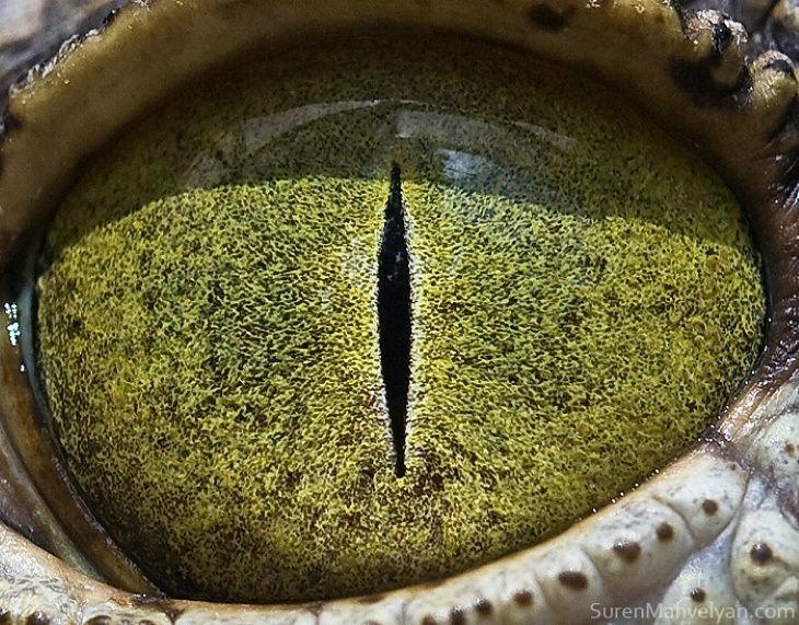 Suren Manvelyan Animal Eyes Photos Nile crocodile