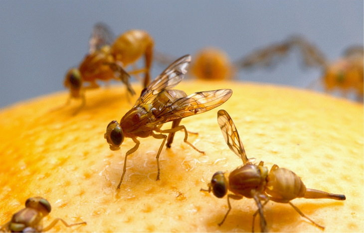 Common Pantry Pests and Ways to Get Rid of Them Fruit Flies