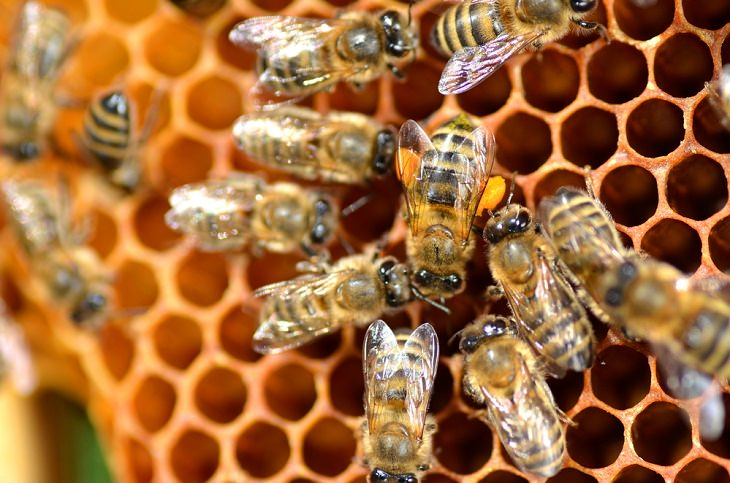 Honeybee Venom, study