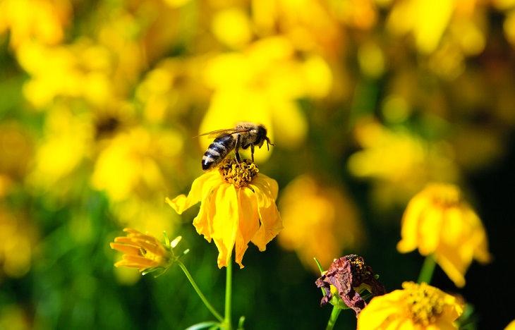 Honeybee Venom, bee on flower