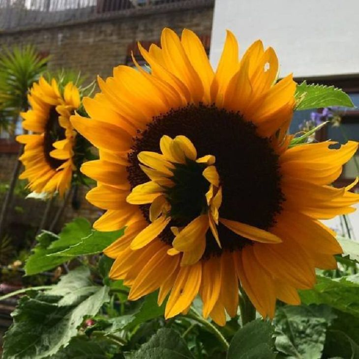 Unusual Plants & Veggies, Sunflower