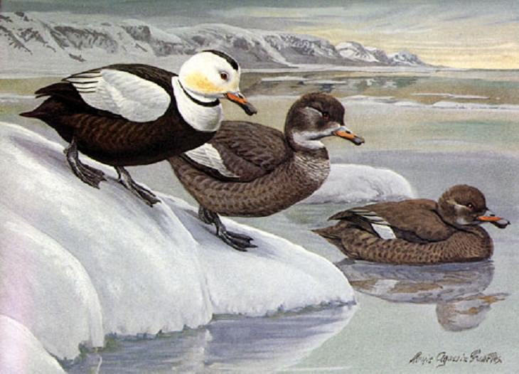 Extinct Birds, Labrador Duck