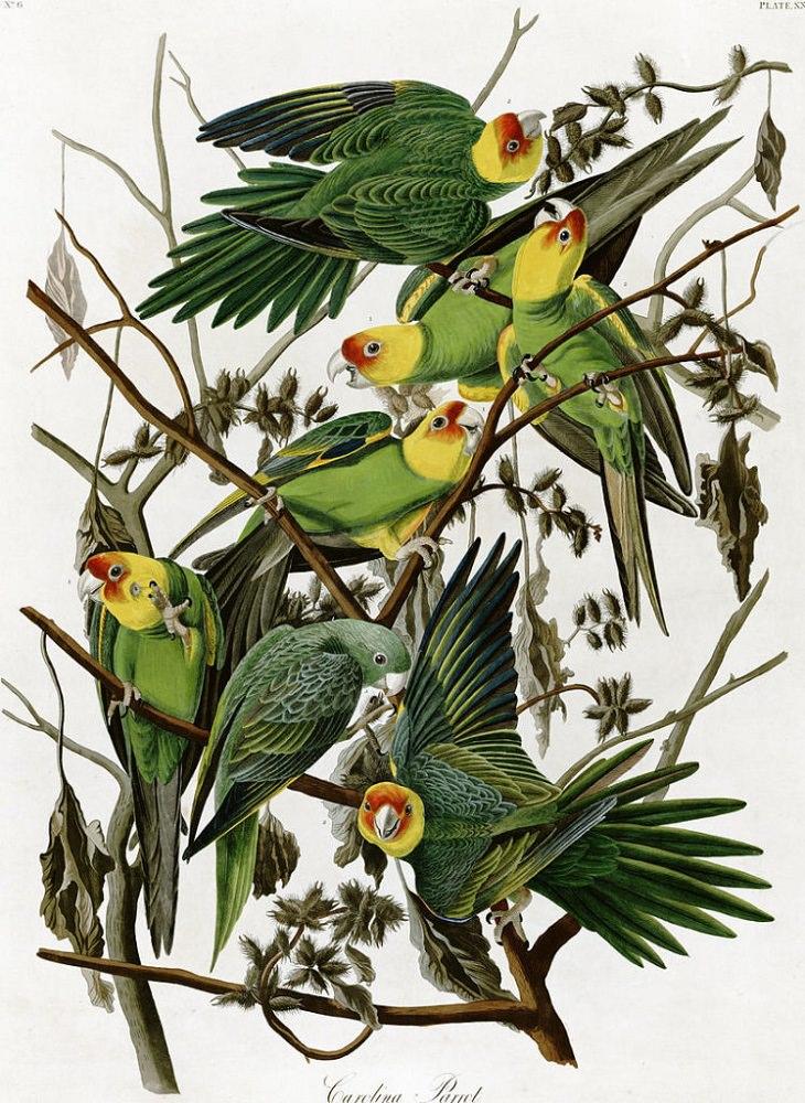 Extinct Birds, Carolina Parakeet