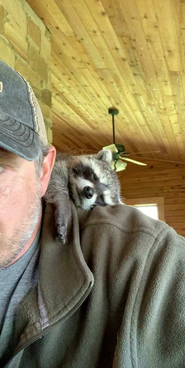 Pets sitting on the owners' shoulders, raccoon