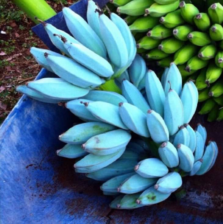 Striking Uniquely Colored Animals, blue banana