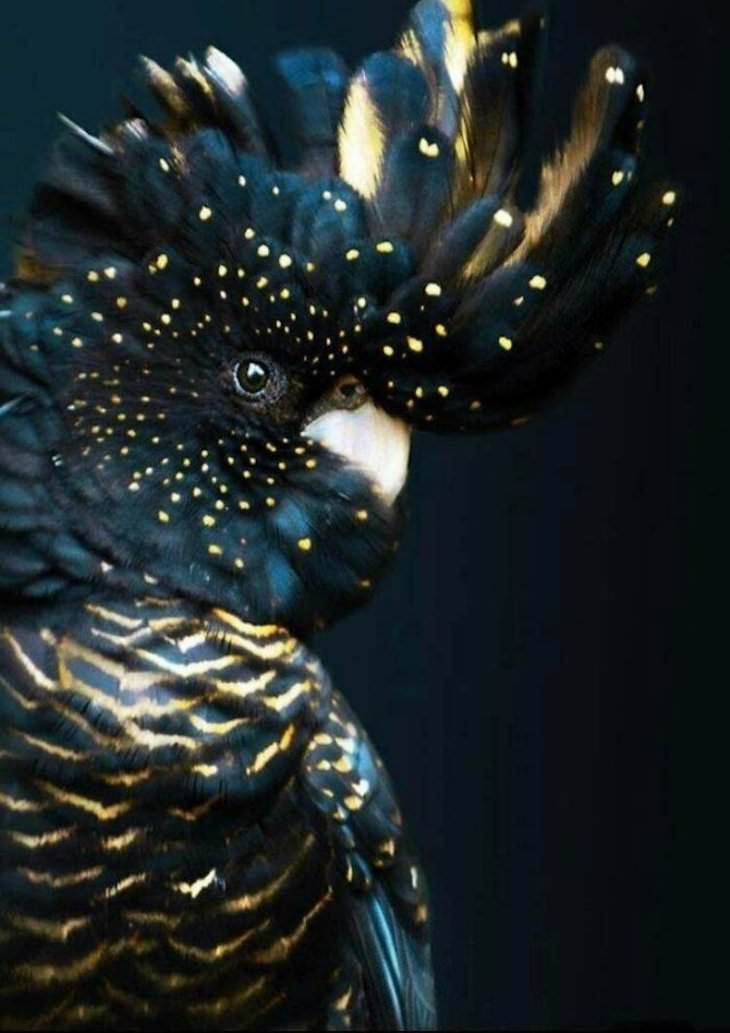 Striking Uniquely Colored Animals, black cockatoo