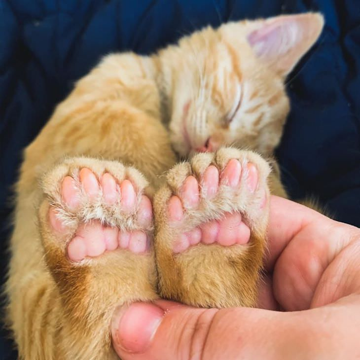 14 Animals with Rare Features, polydactyl cat