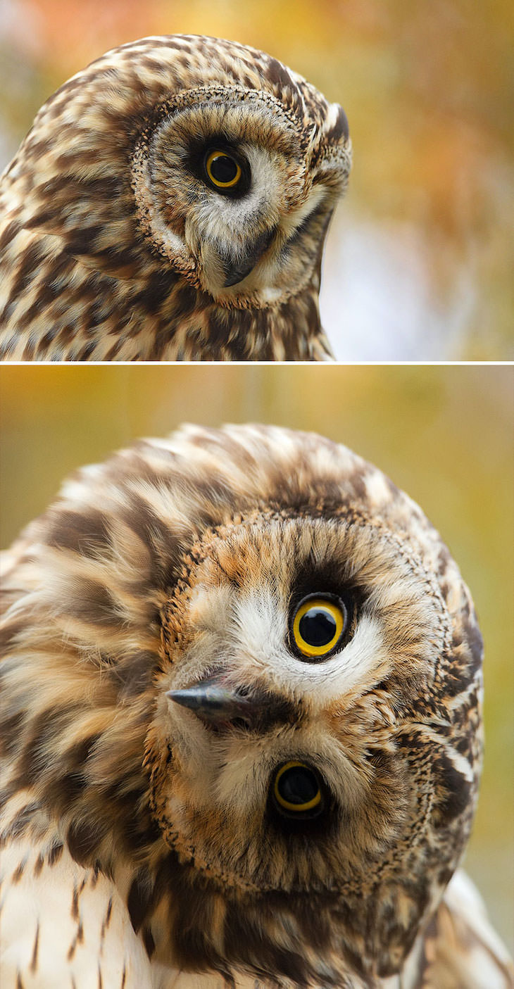 Funny Frontal Portraits of Stunning Birds, short eared owl
