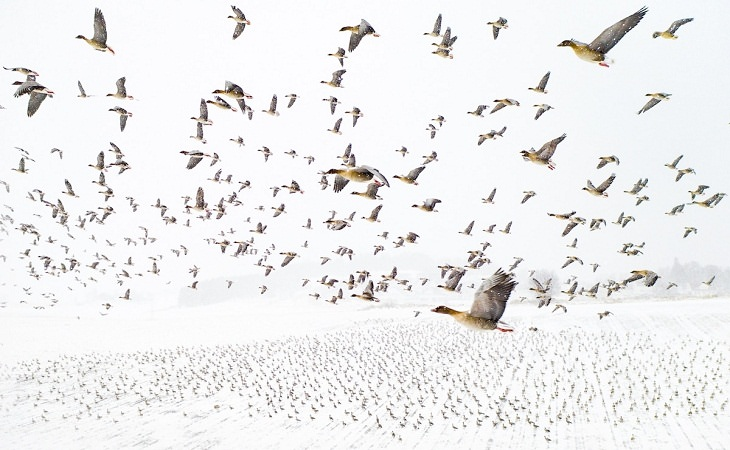2021 Drone Photo Awards, Pink-Footed Geese