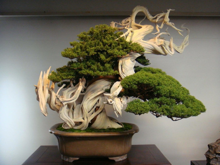 Wonderful Plants Bonsai tree 800 years old