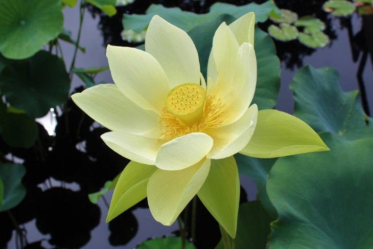 Wonderful Plants yellow lotus flower