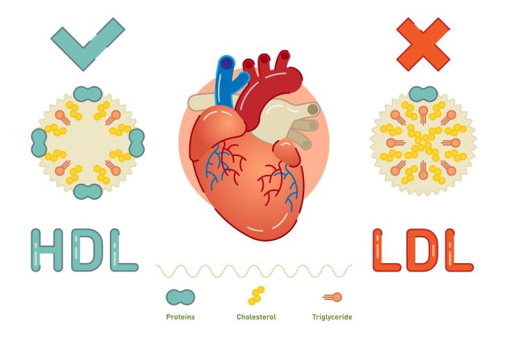 Cholesterol Myths HDL LDL cholesterol
