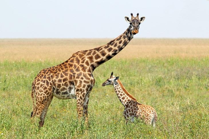 Giraffe Facts, camel-leopards