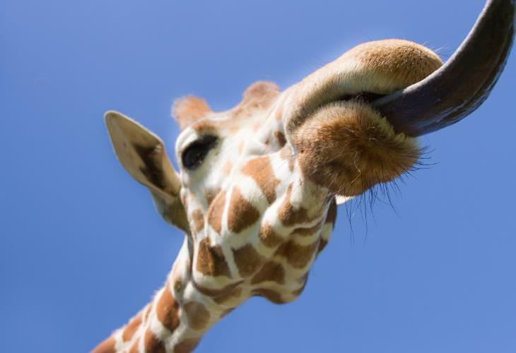 Giraffe Facts, tongue