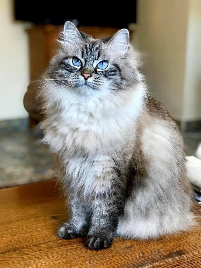 Hypoallergenic Cat Breeds Siberian Cat