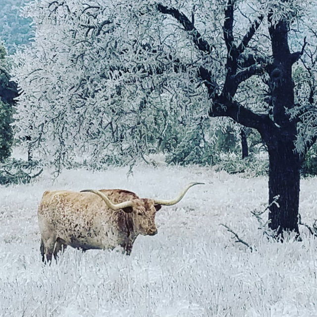 Texas Snow Storms Texas Longhorn near Enchanted Rock State Park