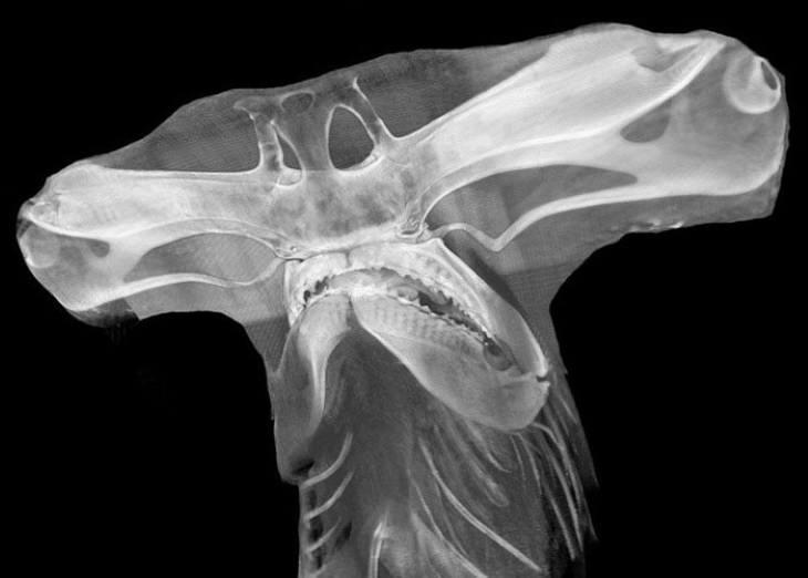 X-Rays  hammerhead shark