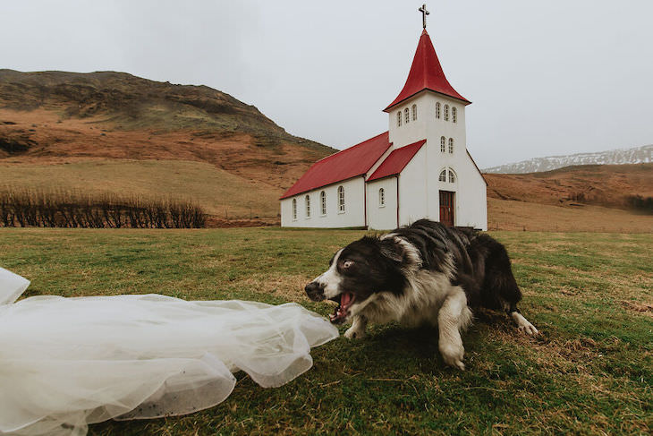 Cutest Contest: Best Dog In a Wedding Photo 2021, dog trying to bite veil
