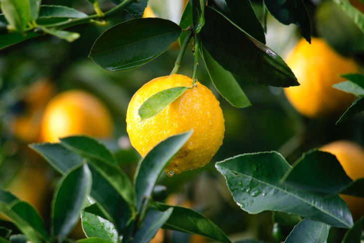 English Borrowings Lemon