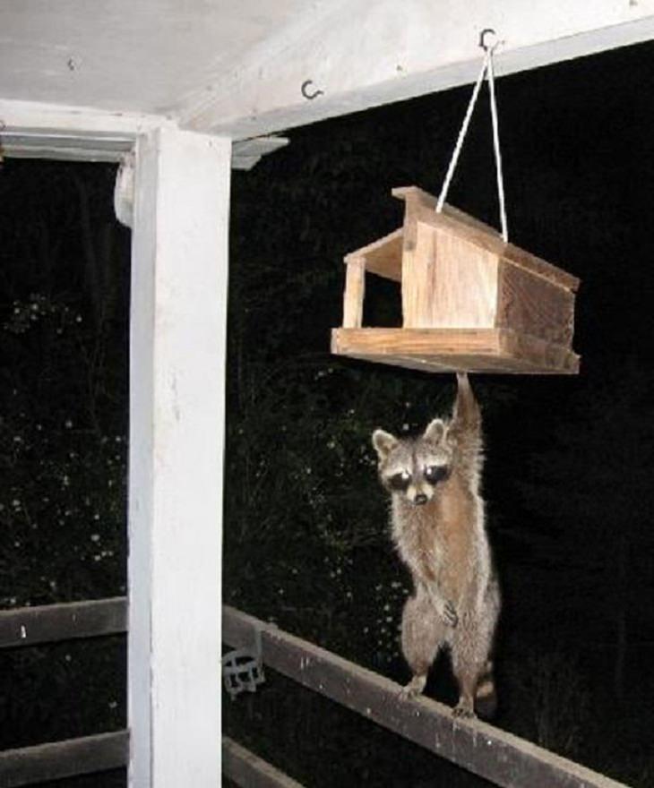 Funny Animal Photos raccoon