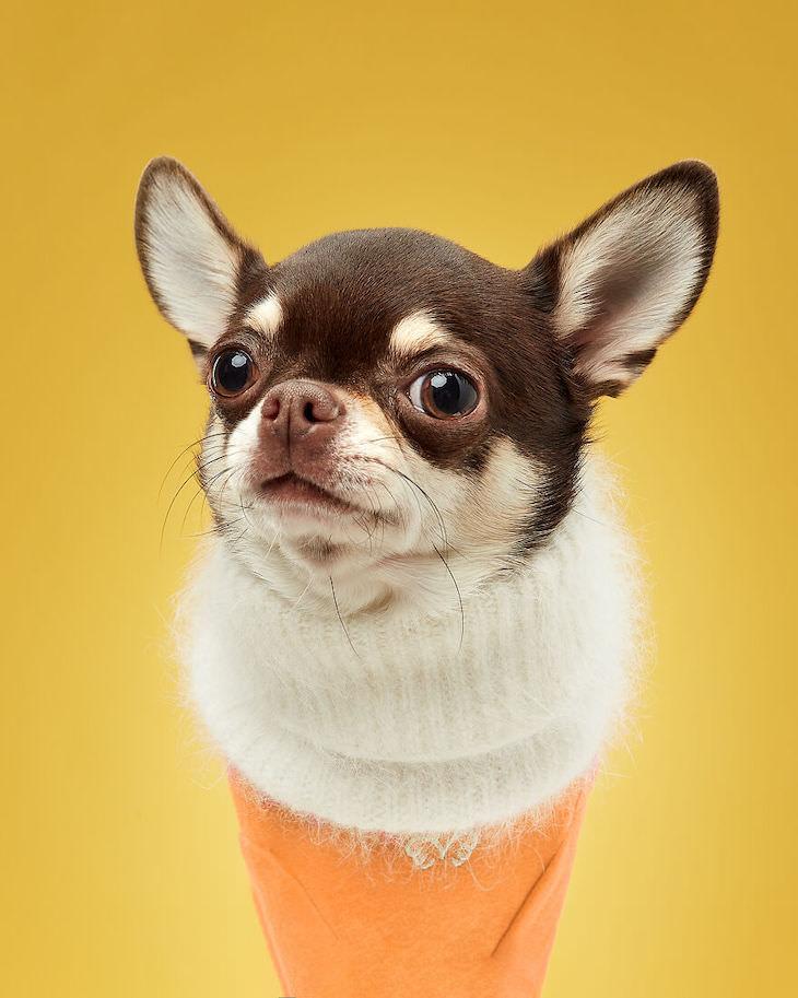 Humorous and Expressive Dog Portraits Chihuaua