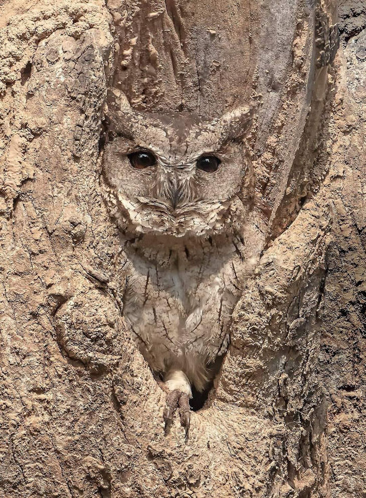 16 Images of Perfect Accidental Camouflage owl