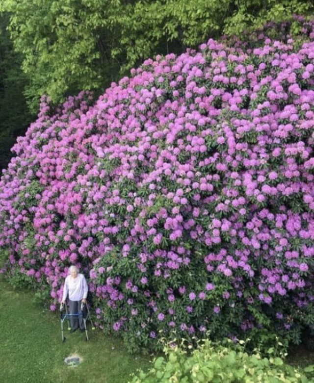 Comparison Photos 100 year old Rhododendron and the woman who planted it