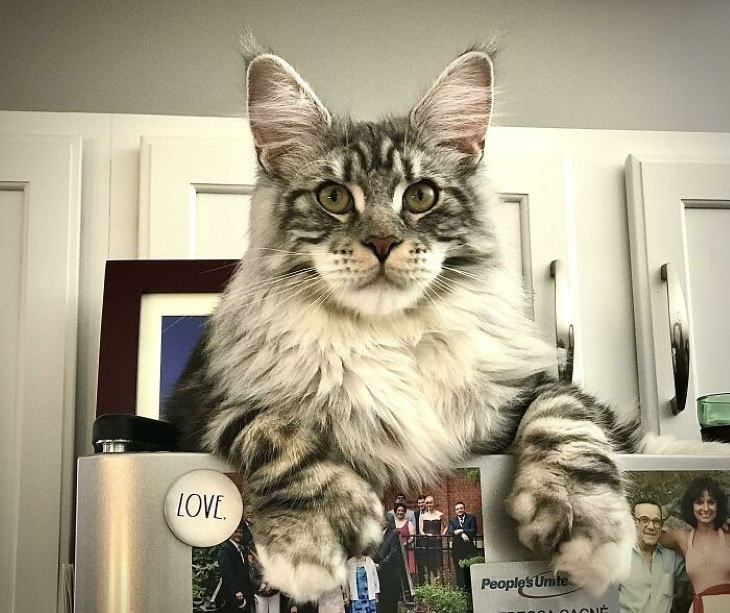 Giant Cats Protector of the Fridge