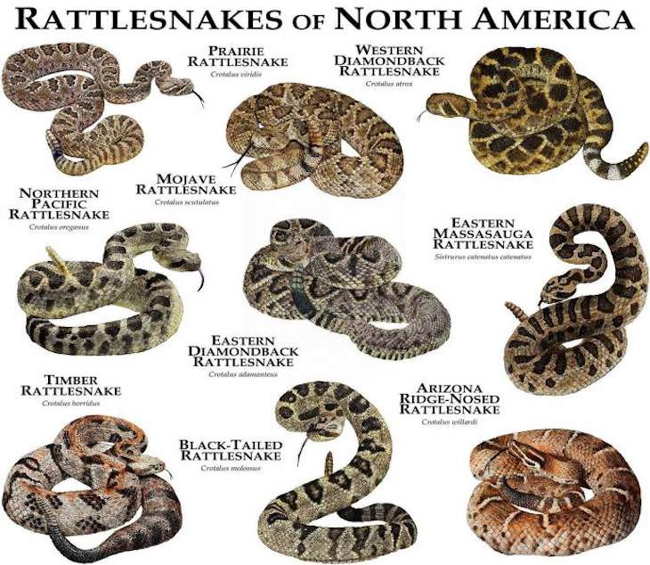 Handy Charts and Tables to Enrich Your Knowledge rattlesnakes of north america