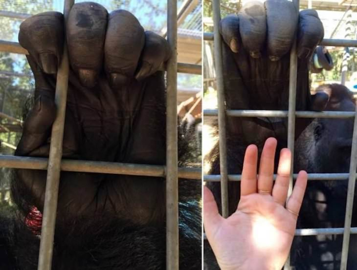 Eye Opening Comparison Images gorilla hand