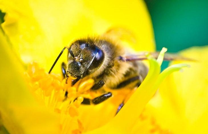 Macro Pics, Honeybee Portrait
