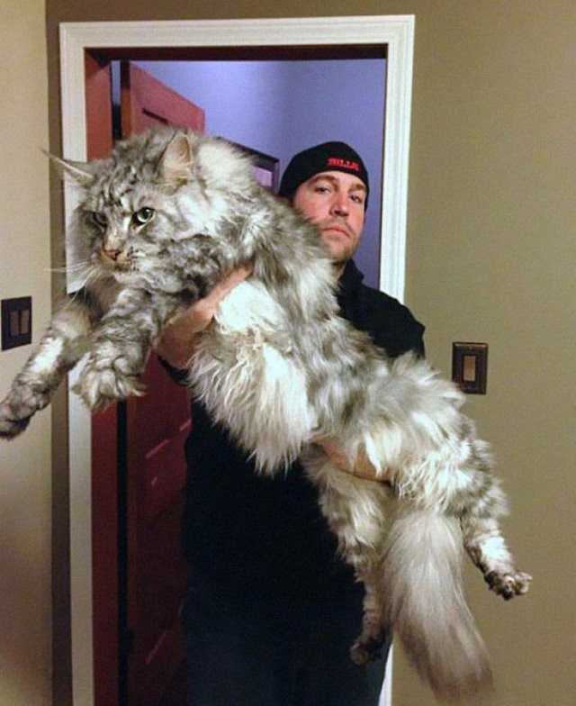 20 Unusually Large Animals Maine Coon