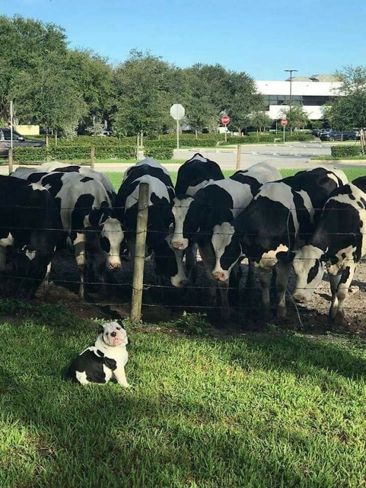 15 Perfectly Timed Photos Of the Funniest Pets dog and cows