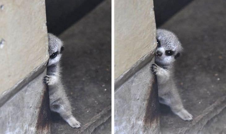 Adorable - 17 Shy Animals suricate