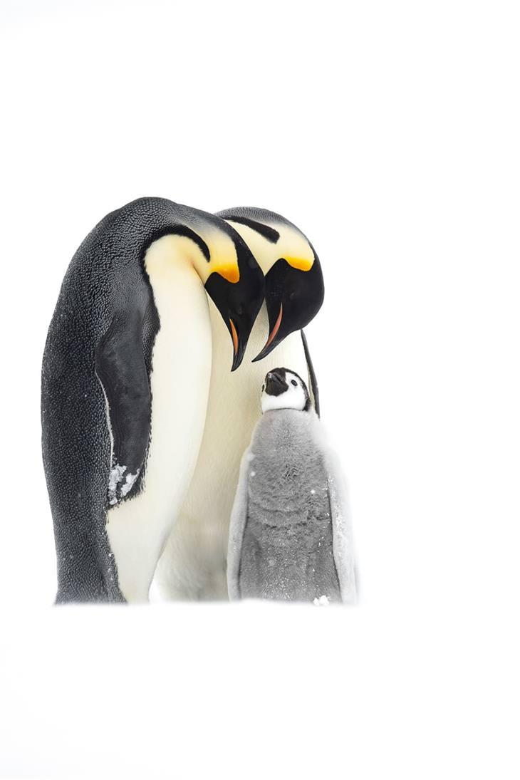 "BPOTY 2021 Finalists ""Emperor penguins"" by Thomas Vijayan"