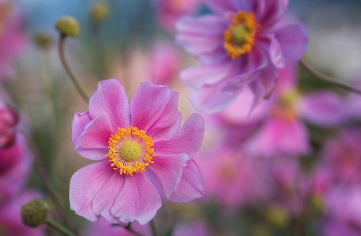 Origins of Flower Names Anemone