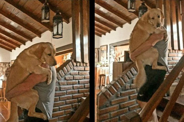 Hilarious Animal Moments Labrador carried upstairs