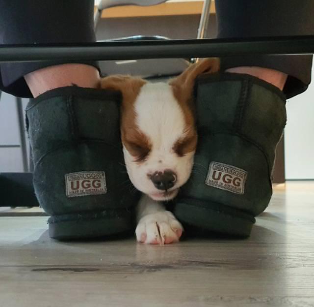 Hilarious Animal Moments puppy sleeping between uggs
