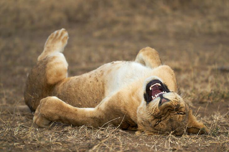 2021 Comedy Wildlife Photo Awards, lion
