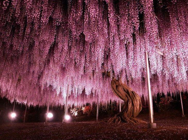 Beautiful Flowers wisteria tree in Ashikaga Flower Park