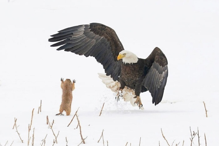 2021 Comedy Wildlife Photo Awards, Bald Eagle