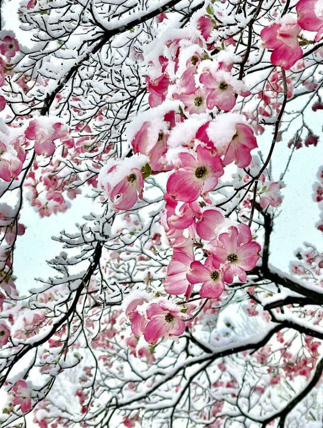 Beautiful Flowers Pink treeflowers covered by snow