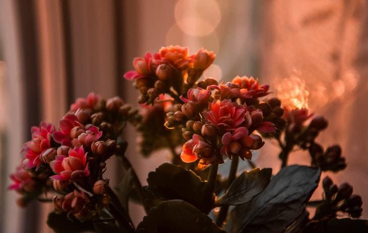 Indoor Succulents Kalanchoe blossfeldiana