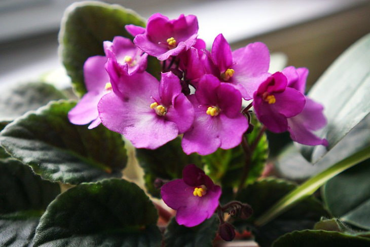 Non-Toxic Plants African Violet