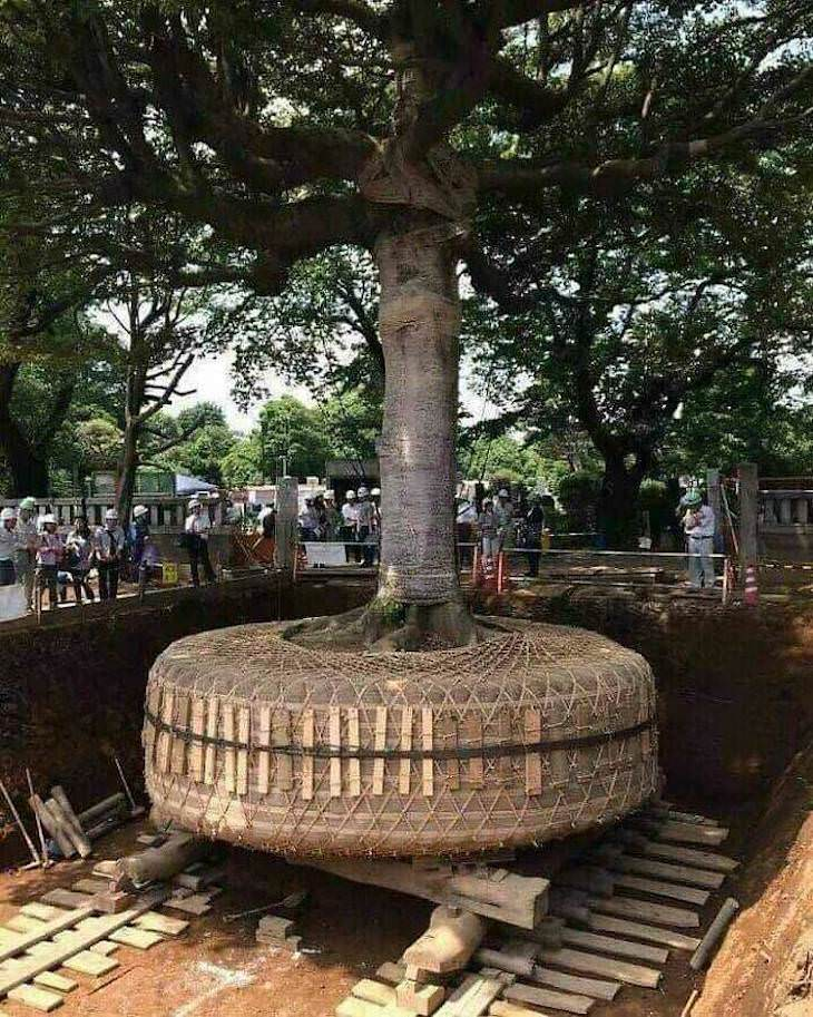 Fascinating Facts and Images of Japan tree