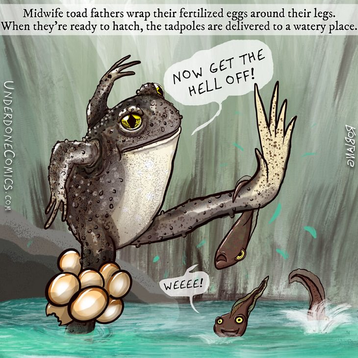 Funny Comics: Animal Dads, Midwife toad