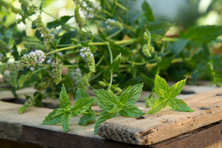 Cooling herbs mint